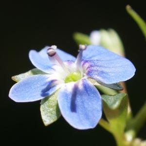 Photographie n°250763 du taxon Veronica beccabunga L.
