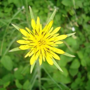 Tragopogon pratensis subsp. minor (Mill.) Hartm. (Petit Salsifis)
