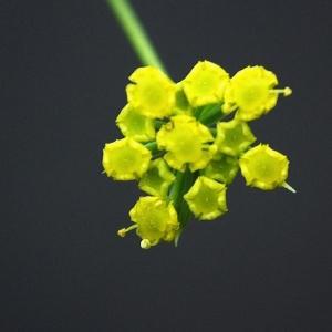 Bupleurum falcatum L. (Buplèvre en faux)