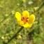 Florent Beck - Verbascum sinuatum L.