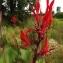 Florent Beck - Canna indica L.
