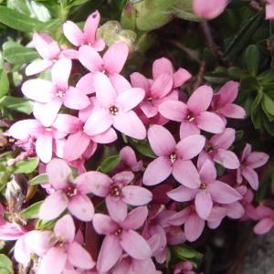Daphne cneorum L. (Camélée des Alpes)
