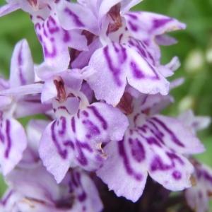 Photographie n°250968 du taxon Dactylorhiza fuchsii (Druce) Soó [1962]