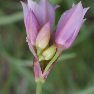 Photographie n°250969 du taxon Allium narcissiflorum Vill. [1779]