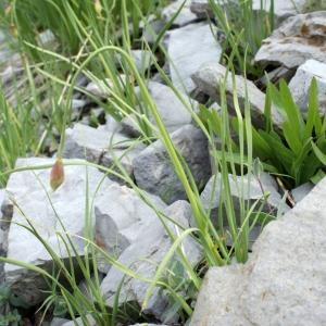 Photographie n°250976 du taxon Allium narcissiflorum Vill. [1779]