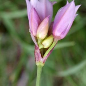 Photographie n°250981 du taxon Allium narcissiflorum Vill. [1779]