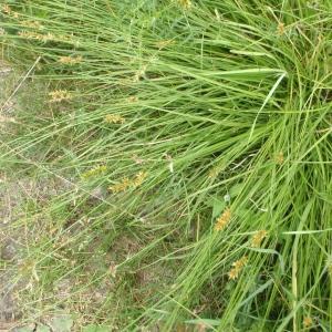 Photographie n°250986 du taxon Carex spicata Huds.