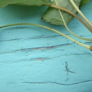 Photographie n°250993 du taxon Prunus avium (L.) L. [1755]