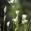 Liliane Roubaudi - Arenaria serpyllifolia L. [1753]