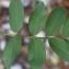 Liliane Roubaudi - Astragalus glycyphyllos L. [1753]