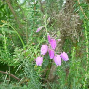 Daboecia cantabrica (Huds.) K.Koch (Bruyère de saint Daboec)