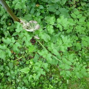 Photographie n°251201 du taxon Angelica sylvestris L. [1753]
