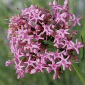 Centranthus angustifolius (Mill.) DC. [1805] (Centranthe à feuilles étroites)
