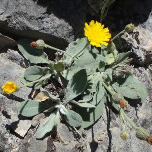 Photographie n°251277 du taxon Hieracium tomentosum L.