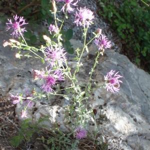 Photographie n°251284 du taxon Centaurea paniculata L. [1753]
