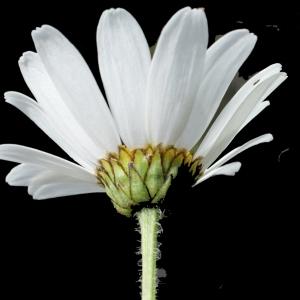 Photographie n°251299 du taxon Leucanthemum adustum (W.D.J.Koch) Gremli [1898]