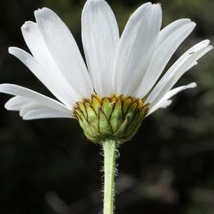 Photographie n°251300 du taxon Leucanthemum adustum (W.D.J.Koch) Gremli [1898]