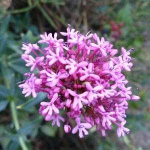 Centranthus ruber (L.) DC. [1805] (Centranthe rouge)