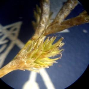 Photographie n°251509 du taxon Carex brizoides L.