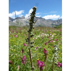 Artemisia atrata Lam. (Armoise noirâtre)