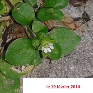 Photographie n°251782 du taxon Stellaire intermédiaire