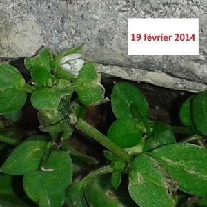 Photographie n°251786 du taxon Stellaire intermédiaire