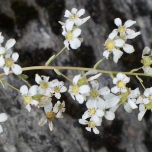 Saxifraga callosa Sm. (Saxifrage à feuilles en languette)