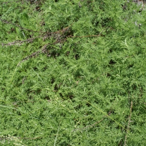 Photographie n°251940 du taxon Artemisia camphorata Vill.