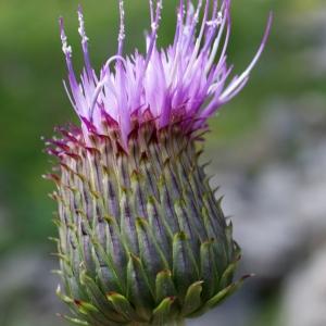 Photographie n°251981 du taxon Cirsium heterophyllum (L.) Hill