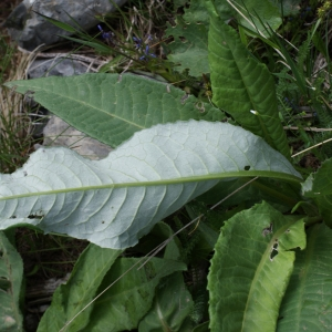 Photographie n°251983 du taxon Cirsium heterophyllum (L.) Hill