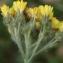 Liliane Roubaudi - Hieracium cymosum L. [1763]
