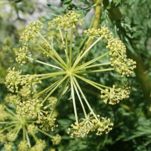 Molopospermum peloponnesiacum (L.) W.D.J.Koch [1824] (Moloposperme du Péloponnèse)
