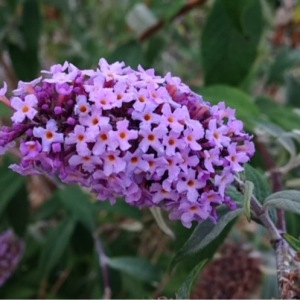 Buddleja davidii Franch. (Buddléia de David)