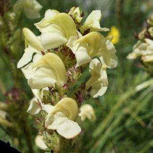 Photographie n°252211 du taxon Pedicularis tuberosa L.