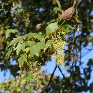 Photographie n°252218 du taxon Acer pseudoplatanus f. purpurascens Pax [1886]
