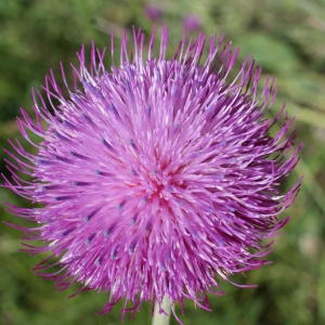 Carduus nutans L. (Chardon penché)