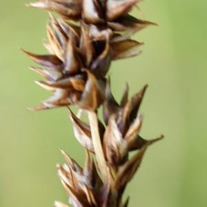 Photographie n°252483 du taxon Carex diandra Schrank
