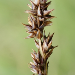 Carex diandra Schrank (Laiche à deux étamines)