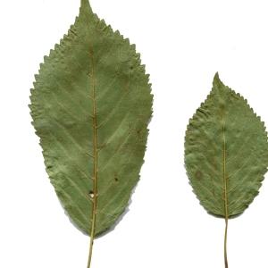 Photographie n°252615 du taxon Prunus avium (L.) L. [1755]