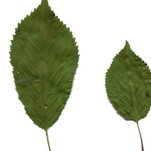 Photographie n°252616 du taxon Prunus avium (L.) L. [1755]