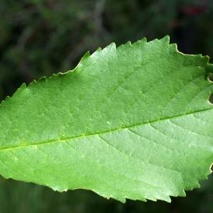 Photographie n°252617 du taxon Prunus avium (L.) L. [1755]