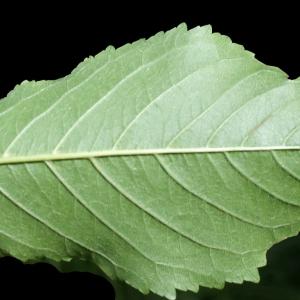 Photographie n°252619 du taxon Prunus avium (L.) L. [1755]