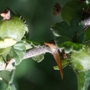 Photographie n°252636 du taxon Ribes uva-crispa L. [1753]