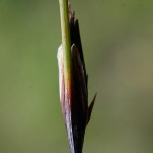 Photographie n°252645 du taxon Schoenus ferrugineus L. [1753]