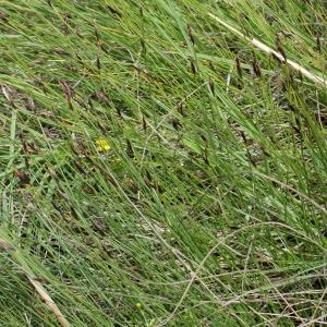 Photographie n°252648 du taxon Schoenus ferrugineus L. [1753]