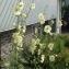 Routhier - Corydalis cava (L.) Schweigg. & Körte