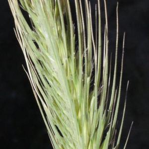 Photographie n°252767 du taxon Dasypyrum villosum (L.) P.Candargy [1901]