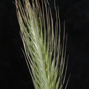 Photographie n°252768 du taxon Dasypyrum villosum (L.) P.Candargy [1901]
