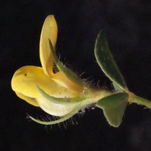 Lotus edulis L. (Faux Caroubier)