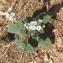 Esra GAUTHIER - Heliotropium europaeum L. [1753]